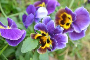 анютины глазки открытка цветы